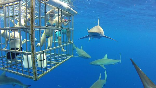 Shark Cage Diving 1